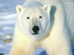 de ijsbeer is het grootste roofdier op aarde. Maar helaas wordt hij wel bedrijgd. Biologen schatten dat er zo'n 22 à 27 duizend ijsberen zijn. Ongeveer de helft daarvan leeft in Canada. Waarschijnlijk is dat ook de reden dat op Canada's muntstuk van 2 dollar de ijsbeer is terug te vinden.  hij kan ongeveer 20 tot 25 jaar oud worden en kan wel 680 kilo wegen.