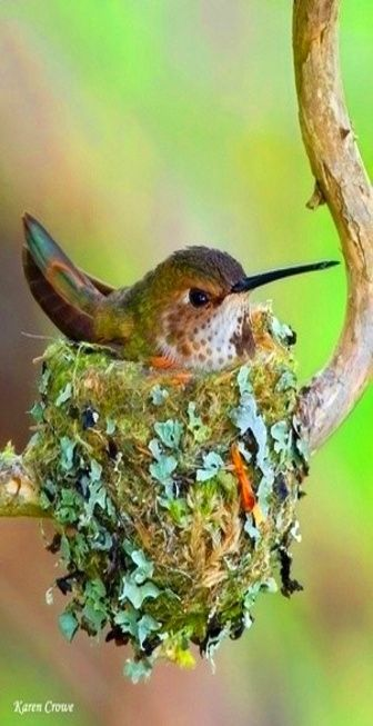 Hummingbird in its' nest    we have hummingbird but not as beautiful as this bird is .thank you