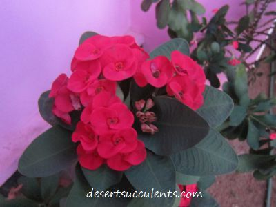 bright red flowers bloom on the crown of thorns euphorbia - Red Flowering House Plants
