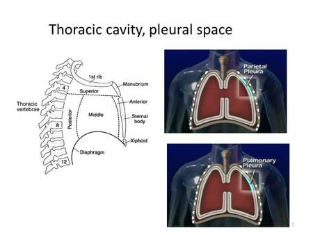 Thoracic cavity, pleural space>
