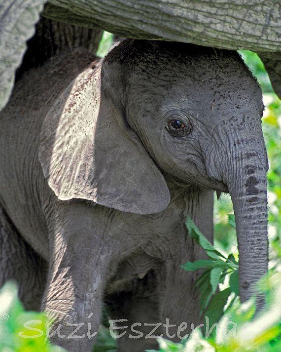 BABY ELEPHANT Photo, 8 X 10 Print, Baby Animal Photograph, Wildlife Photography, Wall Decor, Nursery Art, African Safari, Zoo, Cute, Calf. $25.00, via Etsy.