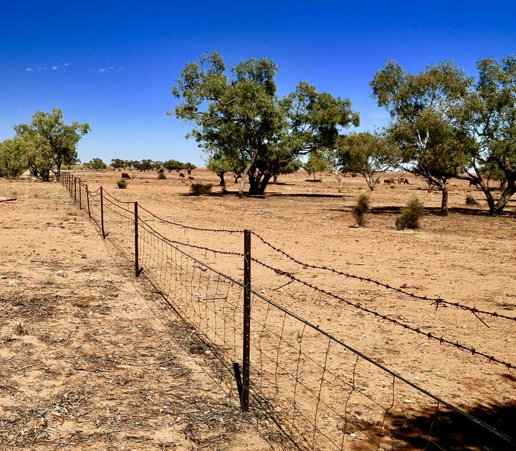Sparse feed in a dry landscape along the fence line east of the Queensland/NT border north of Boulia