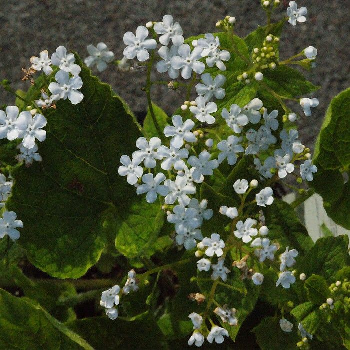 "Brunnera mac. ""Betty Bowring"" -"
