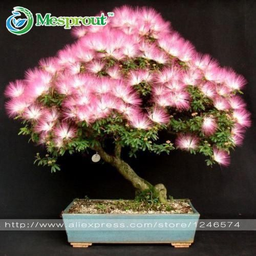 Bonsai Flower seeds 20 pcs Albizia Julibrissin Seeds, Tree Seeds, potted bonsai , DIY Home garden