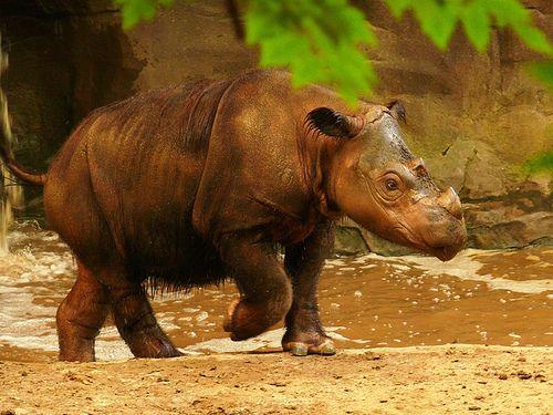 Dicerorhinus s. sumatrensis - Sumatra-Nashorn - Western Sumatran rhinoceros | Flickr - Photo Sharing!