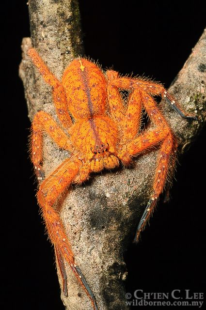 Heteropoda sp.. A strikingly colored Sparassid Spider.