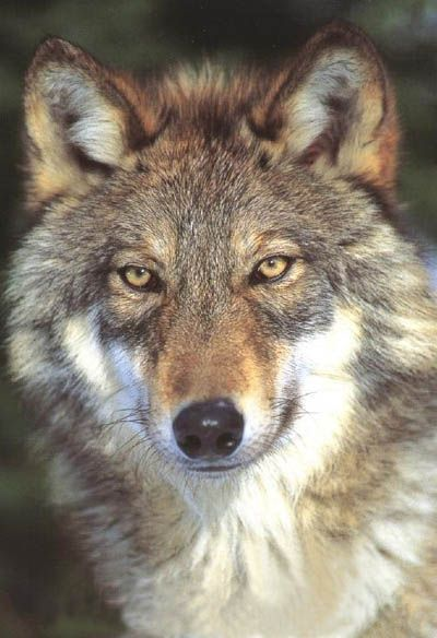 Eastern Timber Wolf | Timber Wolf Puppies http://wolfzone1.com/wolfblog/wolfdogs/