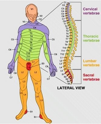 The spine and its nerves. Nerve supply channels and where they reach to in the body: Cervical Vertebrae, Thoracic vertebrae, Lumbar Vertebrae, Sacral Vertebrae
