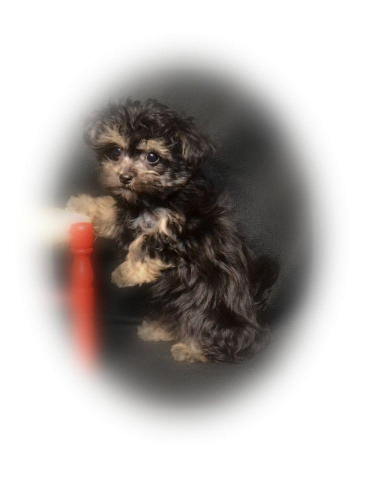 "This is Kendall, a long coat Mi-Ki boy. Is he not beautiful?! from ""Dakota Mi-Kis"" www.dakotamikis.com"