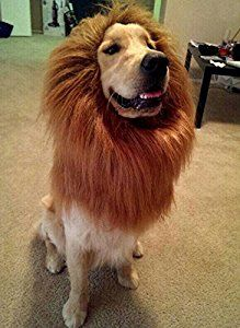 Lion costume for dogs.  Perfect for golden retrievers.  Halloween costumes for pets (affiliate).