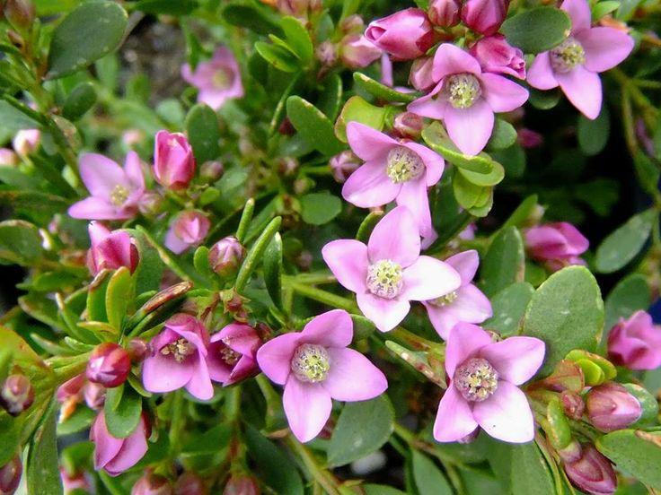 Boronia floribunda