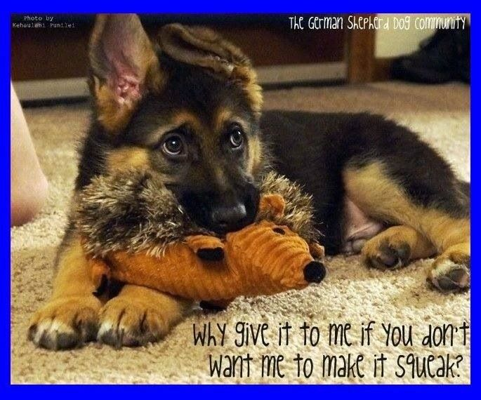 Adorable #pup #germanshepherd