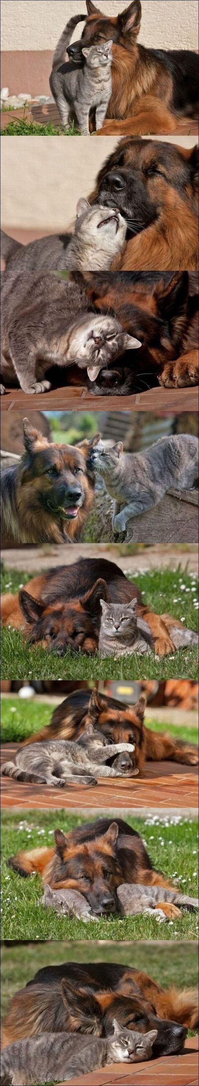best friends......: Sweet, Best Friends, Pet, Bff, Great Friends, Dogs Cats, German Shepherd, Bestfriend, Dogcat