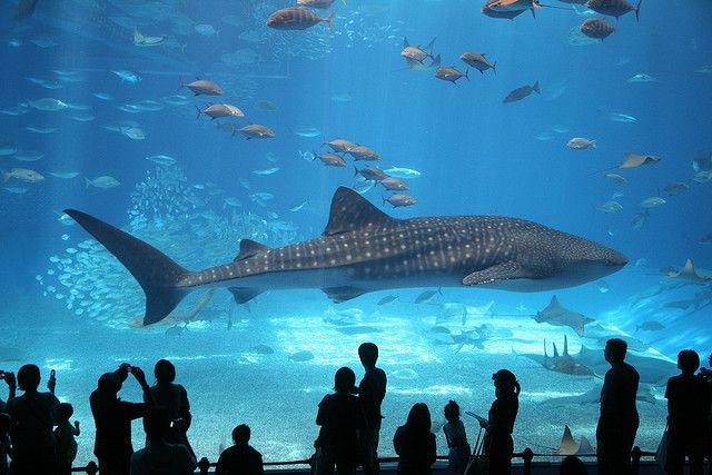 captive whale shark