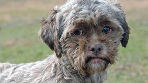 Baas gezocht voor hond met menselijk gezicht  Tonik gaat door het leven als de hond met het 'menselijk gezicht'. De Amerikaanse Tonik, zoals deze kruising tussen een poedel en Shih Tzu is genoemd, hoopt dat hij iemands hart raakt zodat hij geadopteerd kan worden.  Tonik is recent gered uit een zogenaamde 'kill shelter' in Kentucky, een verblijfplaats waar hij een gewisse dood zou sterven. Dit meldt de Huffington Post.  Momenteel bevindt hij zich in veiligere oorden: in het Homeward Bound…
