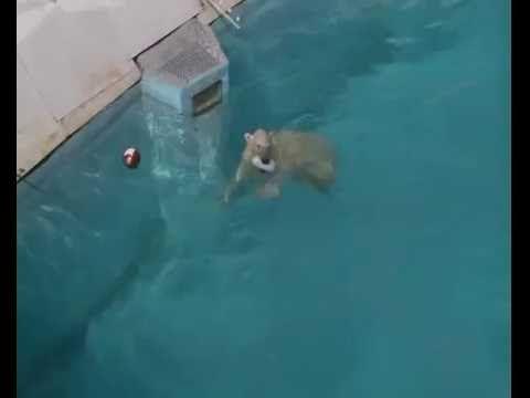 Белые медвежата в зоопарке Удмуртии спасаются от жары