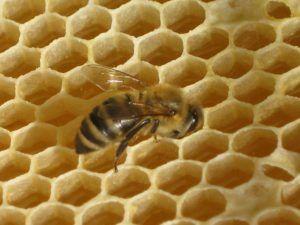 Včelí vosk, věrný ochranář