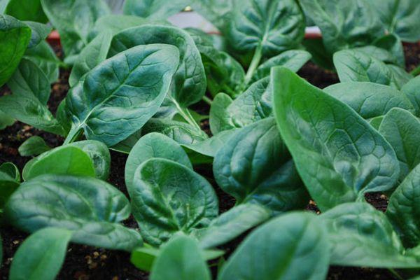 """""""o que plantar em abril?"""" Espinafre, essa hortaliça-folhosa com alto valor nutricional e muito gostosa! Vamos ver como plantar espinafre e continuar ampliando o cultivo da nossa hortinha caseira orgânica."""