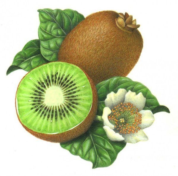 29. Douglas Schneider – Kiwi - Botanical illustration of kiwi fruit and flower, executed in watercolor and colored pencil in 2002 by the professional Botanical artist.