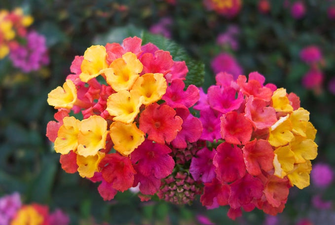 Lantana Just planted some of these tonight!! Sp pretty