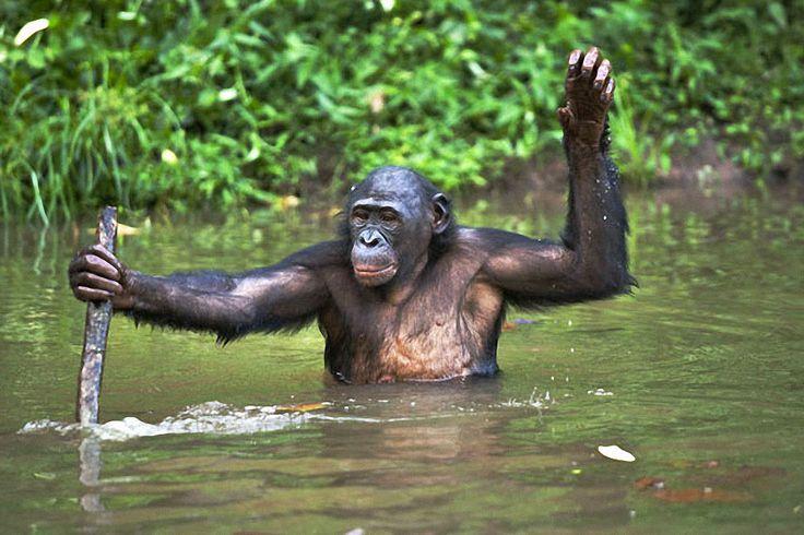 Заповедник Lola ya Bonobo в Конго
