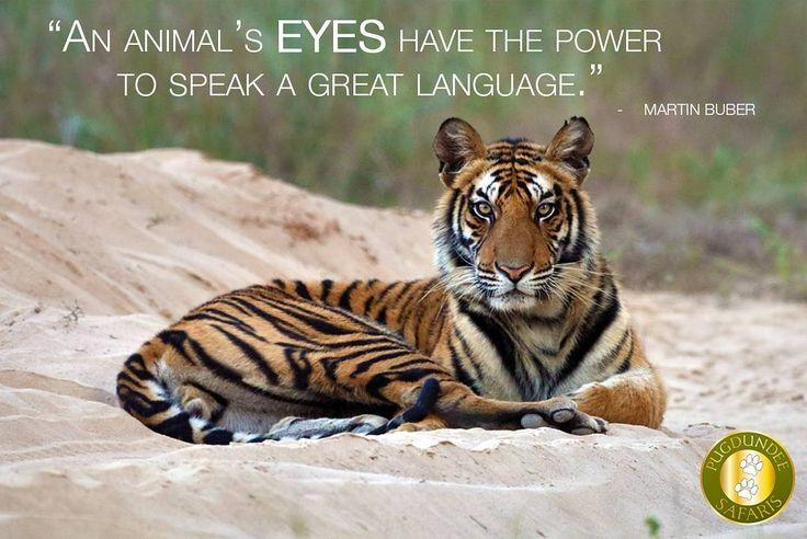 #tiger #wildlifephotography #wildlifeholiday #wildlife_seekers #wildlife #tigers #nationalpark #withpugdundee  #pugdundeesafaris #gaze