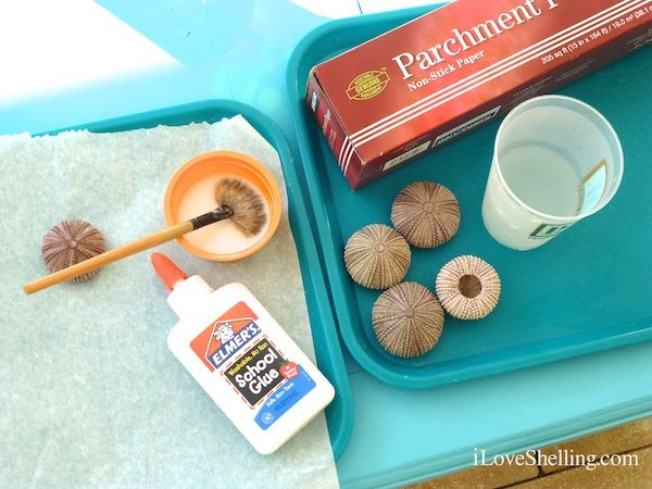 Hardening sea urchins with elmer's glue and water