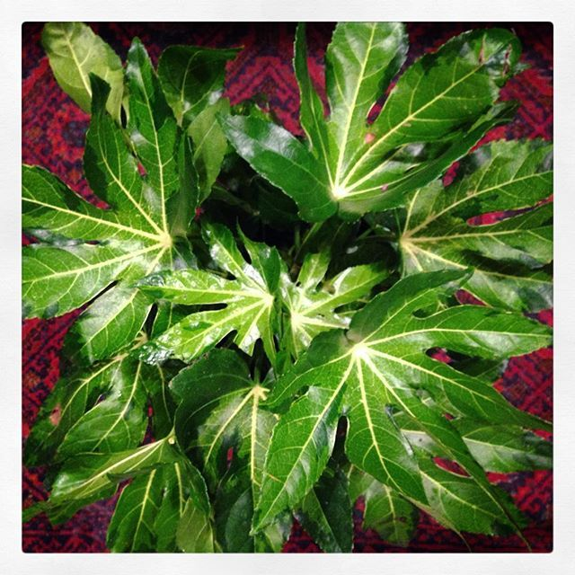 """One of Todays purchases from the @nwfgs from the Dan Hinkley election, grown by Monrovia nursery, purchased from @christiansonsnursery """"Camouflaged, variegated, Japanese Aralia"""" it has beautiful shades of green in the camouflage pattern! @monroviaplants @nwfgs #japanesearalia #monrovia #nwfgs #plant #garden #green #gardenlove #gardenersofinstagram #urbansoule #landscape #danhinkley  #pacificnorthwest #japan #gardenzone8 #seattle"""