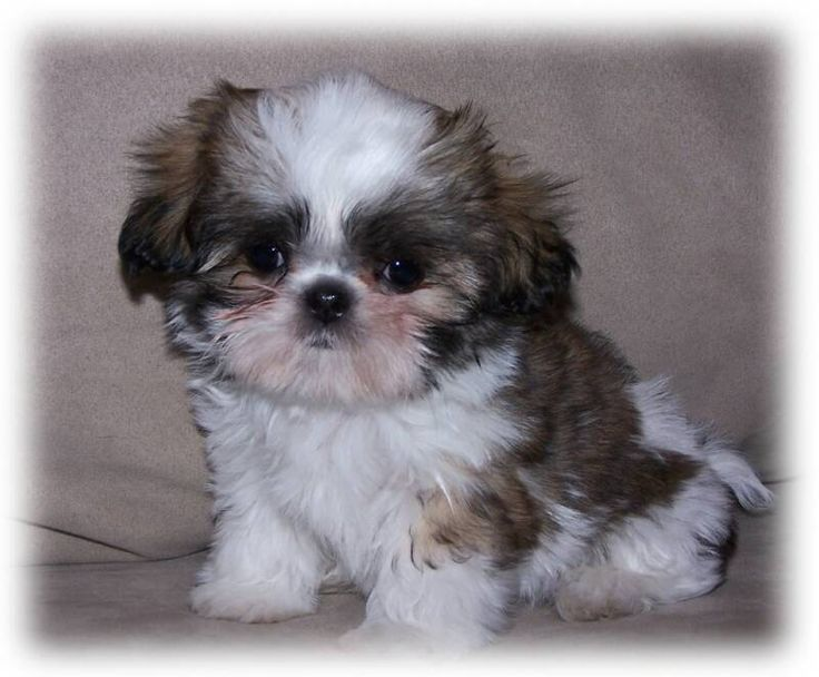 shih tzu toys 17 best ideas about toy shih tzu on pinterest shih tzu 3558