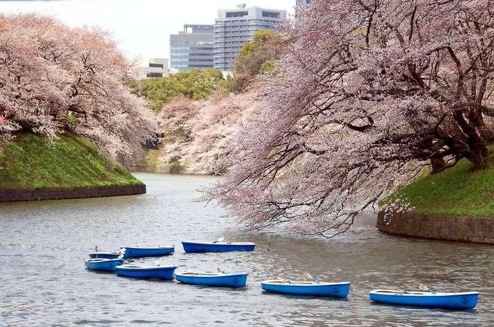 Boote unter blühenden Kirschbäumen nahe dem Kaiserpalast in Tokio, Japan.