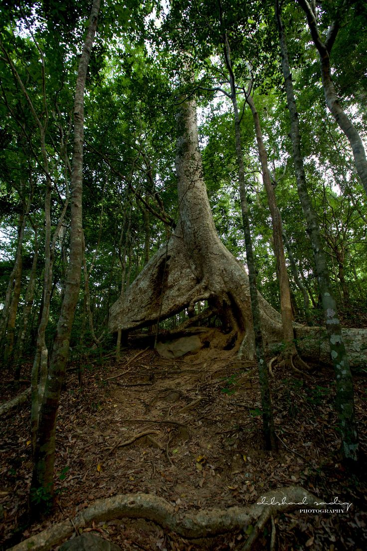 tress over thousand years with its roots traveling in search of water traps