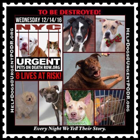 TO BE DESTROYED 12/14/16 - - Info  Please Share: To rescue a Death Row Dog, Please read this:http://information.urgentpodr.org/adoption-info-and-list-of-rescues/  To view the full album, please click here:http://nycdogs.urgentpodr.org/tbd-dogs-page/ -  Click for info & Current Status: http://nycdogs.urgentpodr.org/to-be-destroyed-4915/