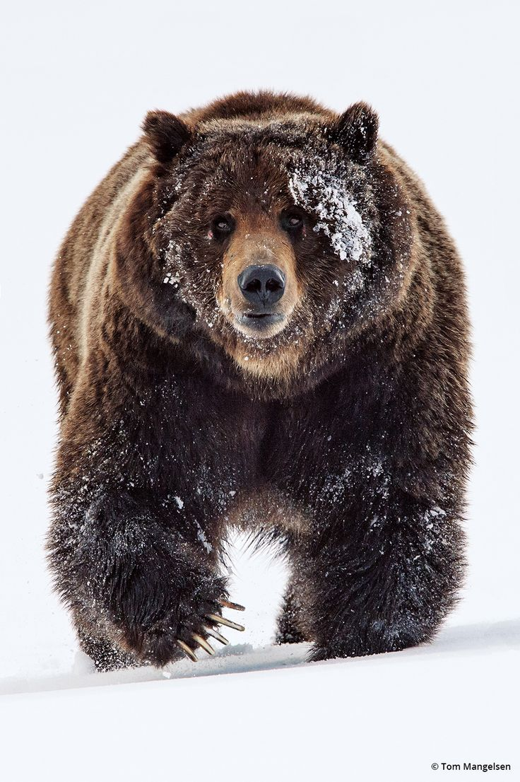 """The Grizzly Bear, less commonly known as the silvertip bear, is a large subspecies of brown bear inhabiting North America. Scientists generally do not use the name grizzly bear but call it the North American brown bear.Wikipedia."""""""