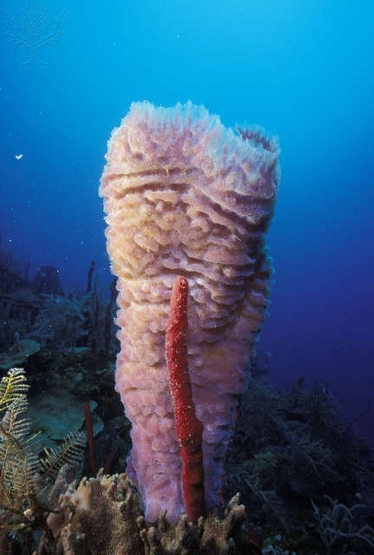 Pink Vase Sea Sponge in Honduras.  That doesn't look like spongebob!