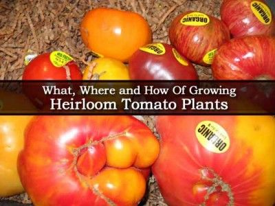What, Where and How Of Growing Heirloom Tomato Plants