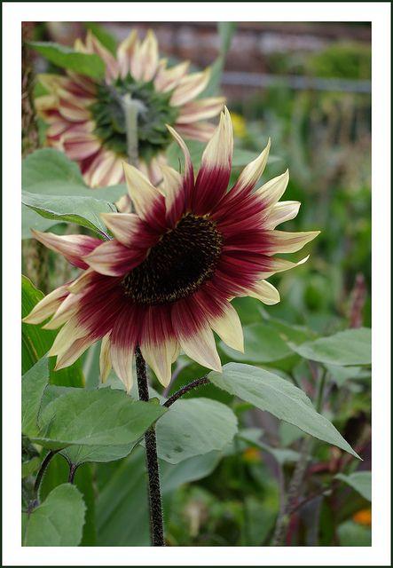 198 best sunflowers images on Pinterest