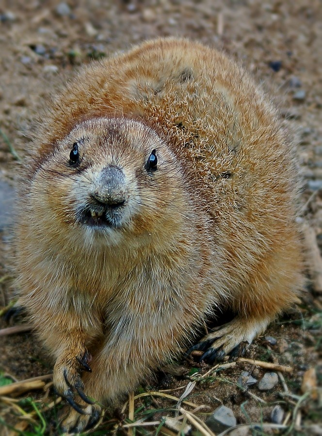 how to get rid of prairie dogs