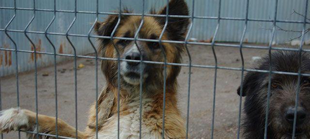 Help: 300 honden moeten zo snel mogelijk weg uit het oorlogsgebied in Oekraïne. Het asiel ligt in de frontlinie; de honden en de medewerkers lopen gevaar door kogels en bommen. Er zijn al honden gewond geraakt en zelfs omgekomen. We kunnen de honden verhuizen naar een veilige plek, maar daar hebben we jouw hulp bij nodig. De 300 honden moeten verhuisd worden voor de winter invalt, het huidige asiel is nauwelijks bereikbaar als er sneeuw valt. Help je mee om deze dieren te redden?