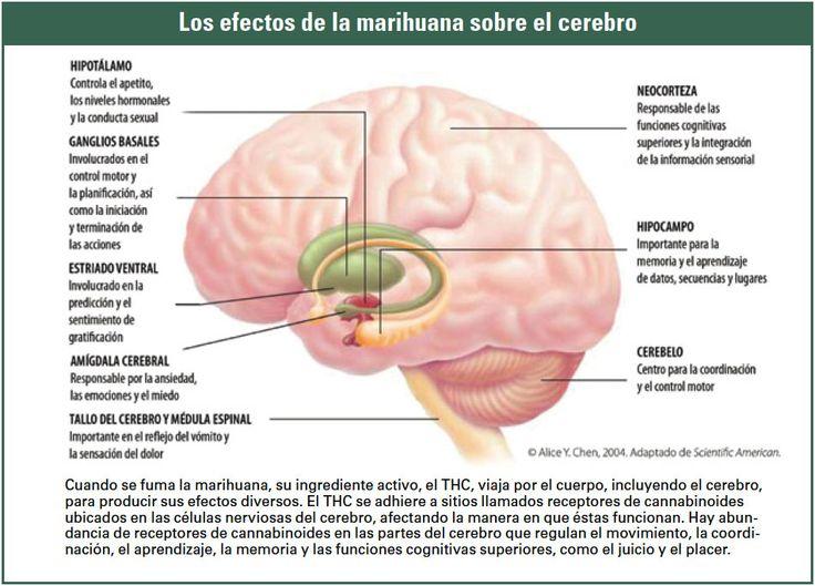 corteza cerebral - Buscar con Google
