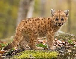 Risultati immagini per baby cougar side view