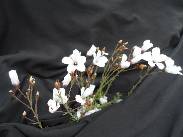 flor silvestre atapuerca