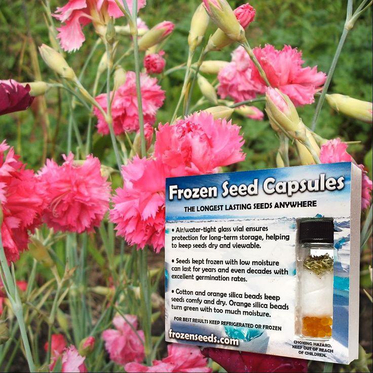 Clove-Pink Carnation Seeds (Dianthus caryophyllus 'Grenadin') + FREE Bonus 6 Variety Seed Pack - a $30 Value!