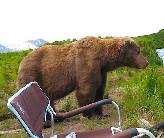 HIS BROWN BEAR LOOKS DEADLY AT THE SAME TIME MAJECTIC! CAMPER HAS AN UP-CLOSE ENCOUNTER! TRULY MAGNIFICENT!