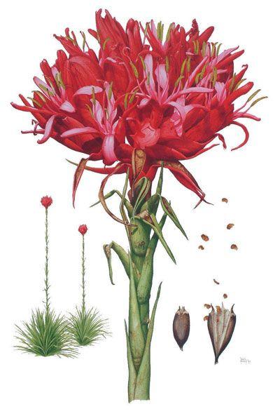 Doryanthes excelsa, Gymea Lily / David Mackay, Botanical Artist