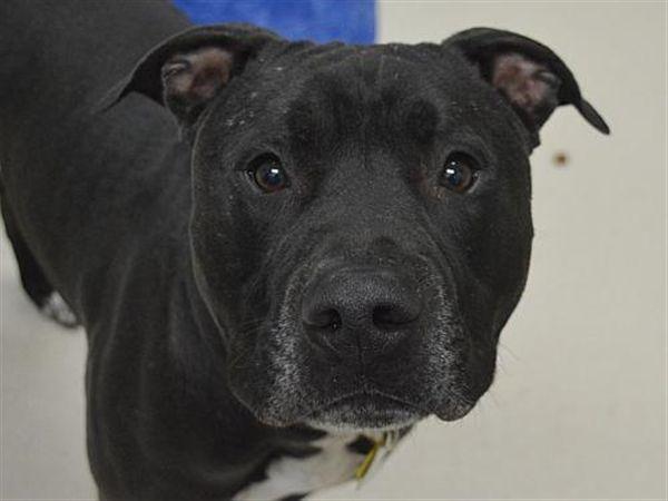 Oreo Oregon Humane Society Humane Society Pitbull Mix Dog Breeds