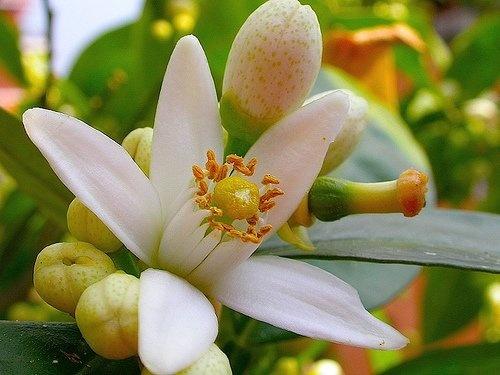 flor del naranjo: Azahar