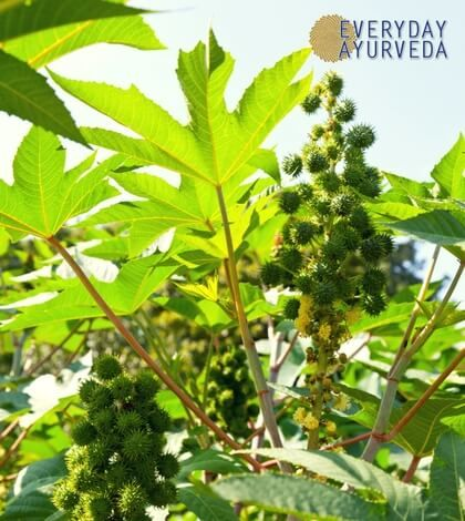Castor oil is cheap and easily available, useful both internally and externally, safe for long-term use, and safe in larger doses.