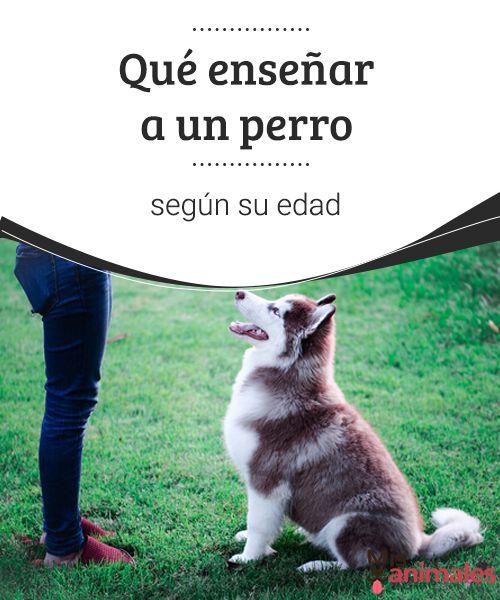 Qué enseñar a un perro según su edad Todos queremos que nuestro sepa hacer muchas cosas. Pero enseñar a un perro puede parecer complicado. ¿El secreto? Enseñar cada cosa en su momento. #edad #perro #enseñar #adiestramiento