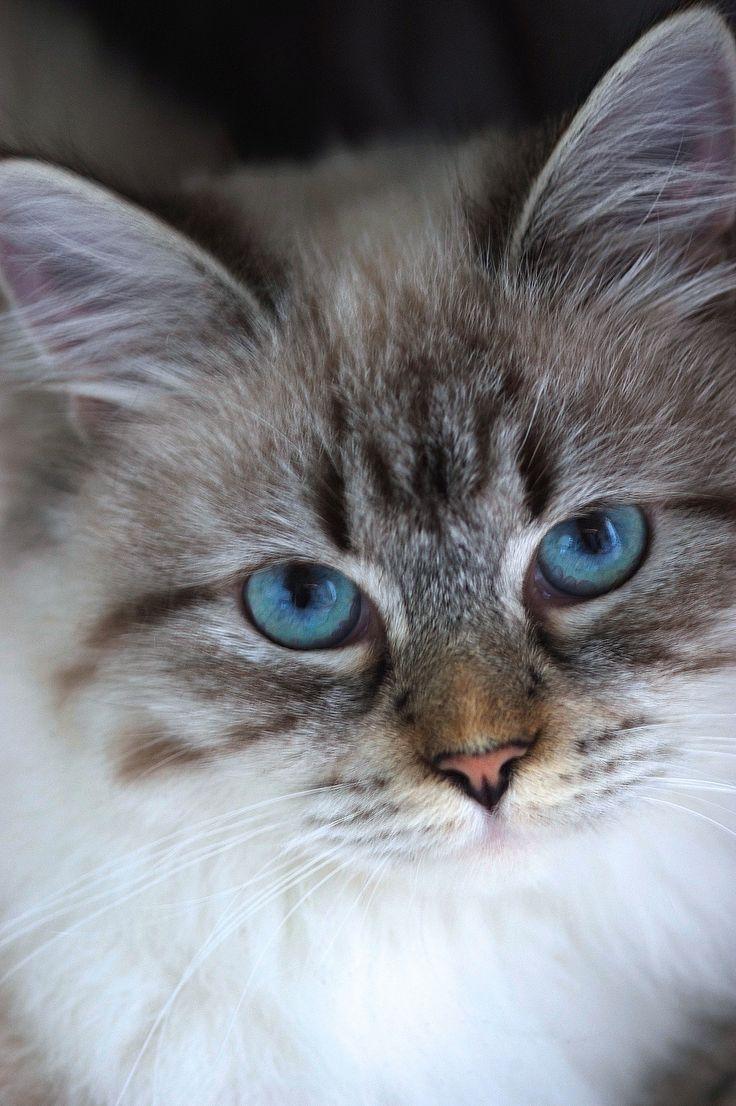 79 best siberian cats images on pinterest kawaii cat kitty cats my beautiful neva siberian neva masquerade geenschuldenfo Images