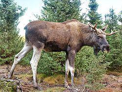 Moose-Gustav.jpg